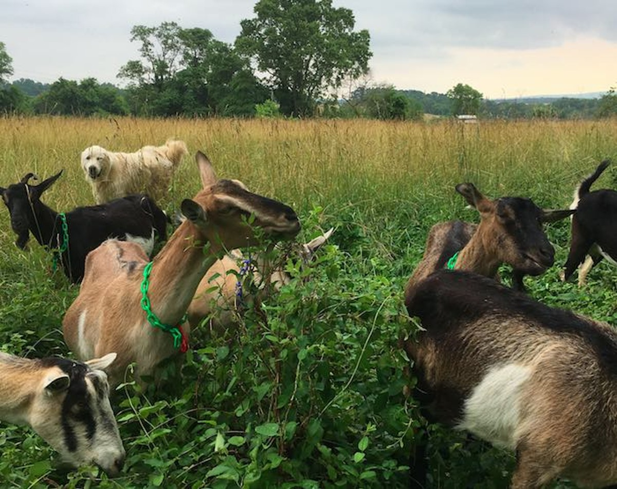 Goats at Georges Mill Farm near Lovettsville